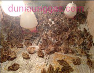penyakit gumboro pada puyuh