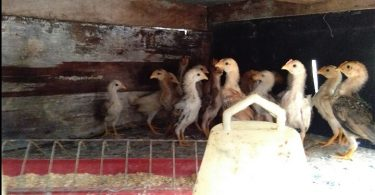 Cara Merawat Anak Ayam Kampung Baru Menetas