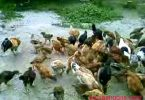 cara mengobati penyakit berak hijau pada ayam
