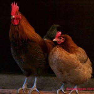 Pemeliharaan Yang Baik Ayam Sehat