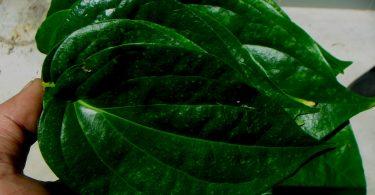 manfaat daun sirih untuk unggas ( puyuh dan ayam )