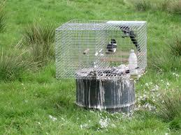 cara menjerat burung kacer dengan kandang pikat